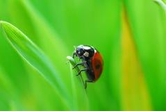 Lieveheersbeestje Stock Fotografie