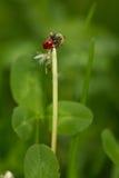 Lieveheersbeestje Royalty-vrije Stock Afbeeldingen