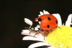 Lieveheersbeestje Stock Afbeeldingen