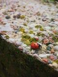 Lieveheersbeestje Stock Foto