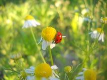 Lieveheersbeestje Stock Afbeelding
