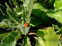 Lieveheersbeestje Stock Foto's