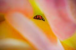 Lieveheersbeestje binnen een roze bloem stock afbeeldingen