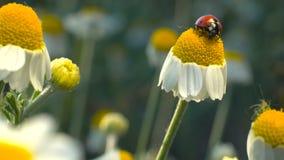 Lieveheersbeestje (Coccinella-septempunctata) was op kamillebloem stock videobeelden