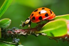 Lieveheersbeestje dat aphids eet Royalty-vrije Stock Afbeelding