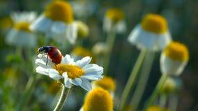 Lieveheersbeestje dat (Coccinella-septempunctata) omhoog van kamillebloem vliegt stock video