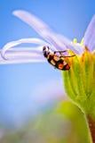 Lieveheersbeestje dat een bloem beklimt Royalty-vrije Stock Afbeelding