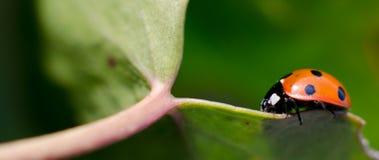 Lieveheersbeestje dat op blad loopt stock afbeelding