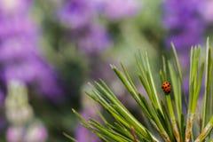 Lieveheersbeestje die onderaan pijnboomnaalden kruipen Royalty-vrije Stock Foto