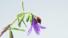 Lieveheersbeestje die op bellflower met dalingen lopen stock video