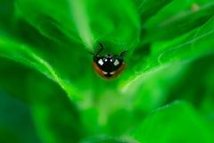 Lieveheersbeestje die op een blad lopen, royalty-vrije stock foto's
