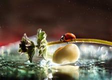 Lieveheersbeestje die op een grassprietje kruipen stock afbeeldingen