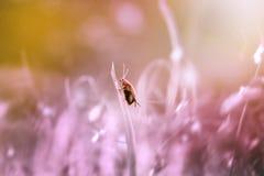 Lieveheersbeestje, dieren, macro, Royalty-vrije Stock Afbeelding