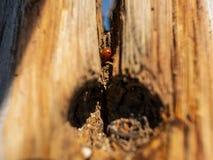 Lieveheersbeestje in een droge houten boomboomstam tegen de blauwe hemel Houten structuur royalty-vrije stock afbeeldingen