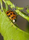 Lieveheersbeestje en aphids Royalty-vrije Stock Afbeeldingen