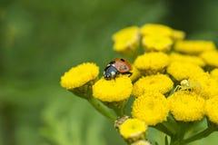 Lieveheersbeestje en gele spin op een wilde gele bloem royalty-vrije stock afbeeldingen