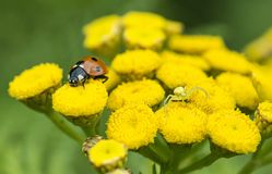 Lieveheersbeestje en gele spin op een wilde gele bloem royalty-vrije stock afbeelding