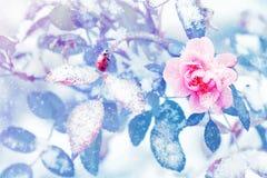 Lieveheersbeestje en mooie roze rozen en blauwe bladeren in sneeuw en vorst in een de winterpark stock foto