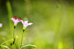 Lieveheersbeestje en paardebloem Stock Foto's
