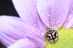 Lieveheersbeestje en roze bloem Royalty-vrije Stock Foto's