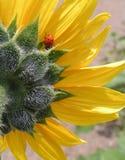 Lieveheersbeestje en Zonnebloem Royalty-vrije Stock Afbeeldingen