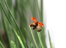 Lieveheersbeestje in gras Stock Foto