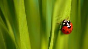 Lieveheersbeestje in groen gras stock footage