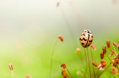 Lieveheersbeestje in groene aard Stock Afbeelding