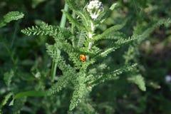 Lieveheersbeestje in het gras stock afbeeldingen