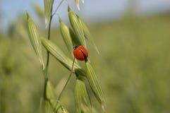 Lieveheersbeestje het hangen op haver panicle stock foto's