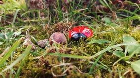 Lieveheersbeestje in het hout Stock Foto's