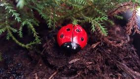 Lieveheersbeestje in het hout Stock Afbeelding