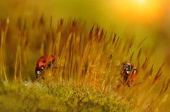 Lieveheersbeestje in het mosbos Stock Foto