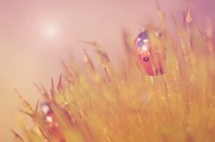 Lieveheersbeestje in het mosbos Royalty-vrije Stock Foto's