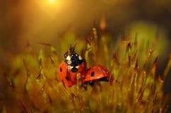 Lieveheersbeestje in het mosbos Stock Afbeelding
