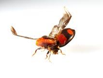 Lieveheersbeestje het vliegen   macro Royalty-vrije Stock Afbeeldingen