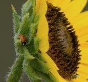 Lieveheersbeestje het Wandelen Stock Fotografie