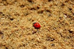 Lieveheersbeestje in het zand Royalty-vrije Stock Foto