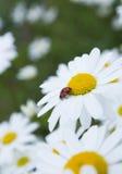 Lieveheersbeestje in kamilleclose-up stock afbeelding
