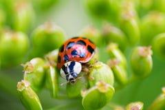 Lieveheersbeestje macrobeeld Stock Foto's