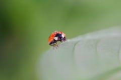 Lieveheersbeestje met waterdalingen die op een blad zitten Stock Afbeeldingen