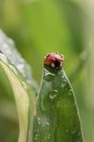 Lieveheersbeestje met waterdalingen die op een blad zitten Stock Foto's