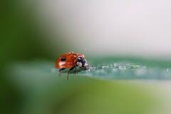 Lieveheersbeestje met waterdalingen die op een blad zitten Royalty-vrije Stock Afbeelding