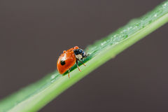 Lieveheersbeestje met waterdalingen die op een blad zitten Stock Fotografie