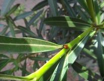 Lieveheersbeestje in oleanderinstallatie royalty-vrije stock afbeelding