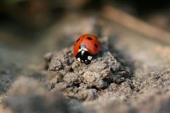 Lieveheersbeestje/onzelieveheersbeestje stock afbeeldingen