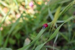 Lieveheersbeestje op blad Royalty-vrije Stock Fotografie