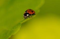 Lieveheersbeestje op blad Stock Foto
