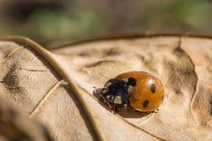 Lieveheersbeestje op blad Royalty-vrije Stock Foto's