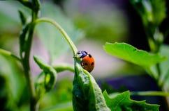 Lieveheersbeestje op blad royalty-vrije stock afbeelding